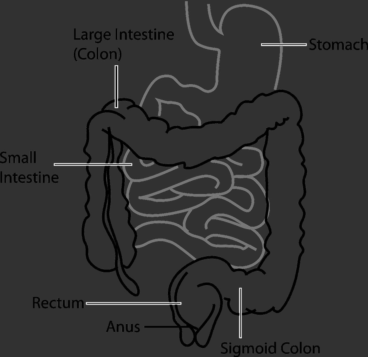 digestive track